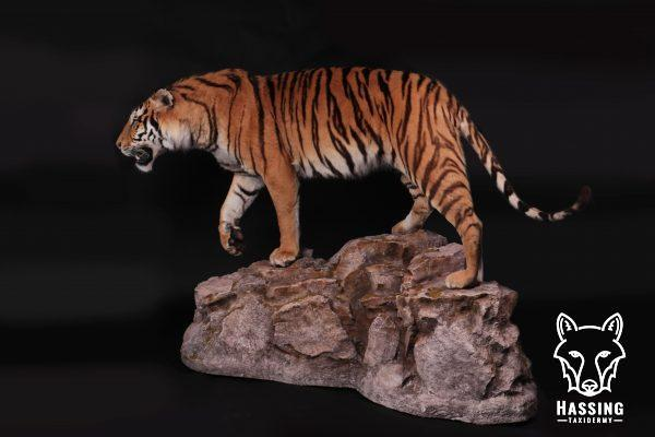 opgezette tijger
